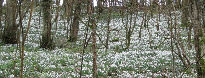Snowdrops at Cherington