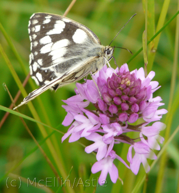 Pyramidal Orchid and Marbled White