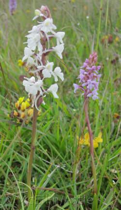 White Fragrant Orchid