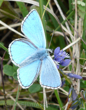 Adonis Blue Male