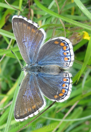 Adonis Blue Female