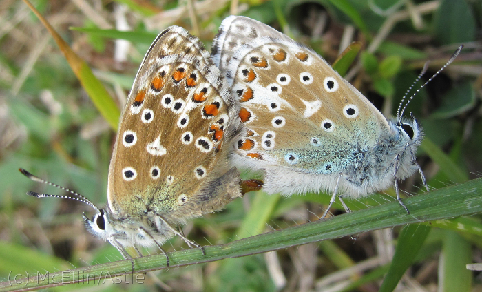 Mating Adonis Blues
