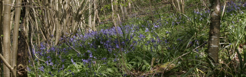 Box Woods Bluebells