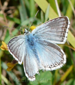 Chalk Hill Blue - Upper wing