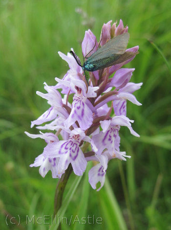 Common Spotted Orchid with Moth